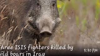 3 ISIS fighters  killed by wild boars!!