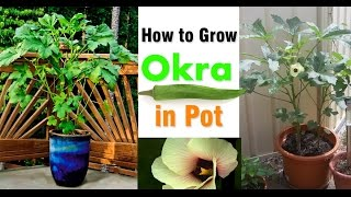 How to Grow Okra Plant In Port Easy (Lady Finger)