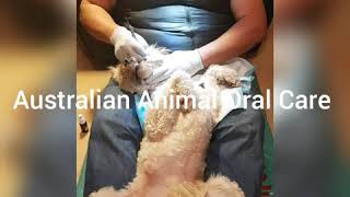 Live Doggy Dental without Anesthesia or Drugs