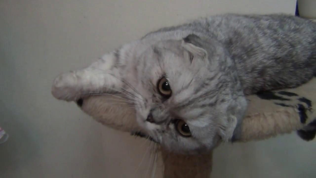 Шотландская вислоухая кошка объявления о продаже кошек, котят с фотографиями. Продам последних вислоухих котят цена 3000т. Р. 17:36, вчера.