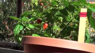 You Can Grow Trinidad Moruga Scorpion Peppers
