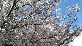 桜の回廊を散歩してきました.
