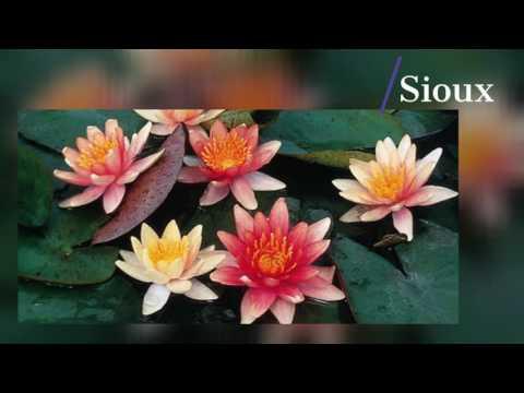 Lilies & Lotus of 2017
