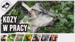 Lubuskie Angusowo - kozy w utrzymaniu czystosci pastwiska