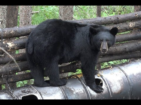LARGE BLACK BEAR SHOT AT 12 YARDS WITH CROSSBOW!