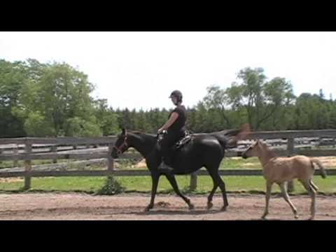SOLD: Gaited Rocky Mountain Mare In Ontario - Robin Hills Victory - First Ride Since Foaling