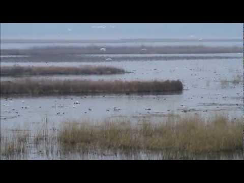 Tundra Swans 2012