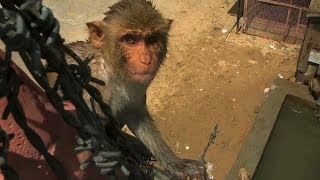 Dive-bombing macaques - Monkey Planet: Preview - BBC One