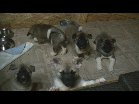 American Akita puppies in Romanian Kennel