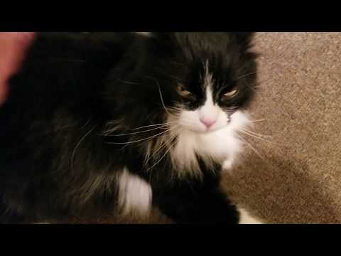 Norwegian Forest Cat gets her daily attention