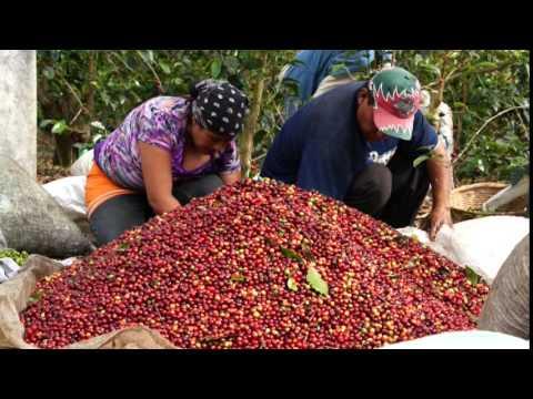 El Salvador espera aumentar la producción de café para 2014 - 2015