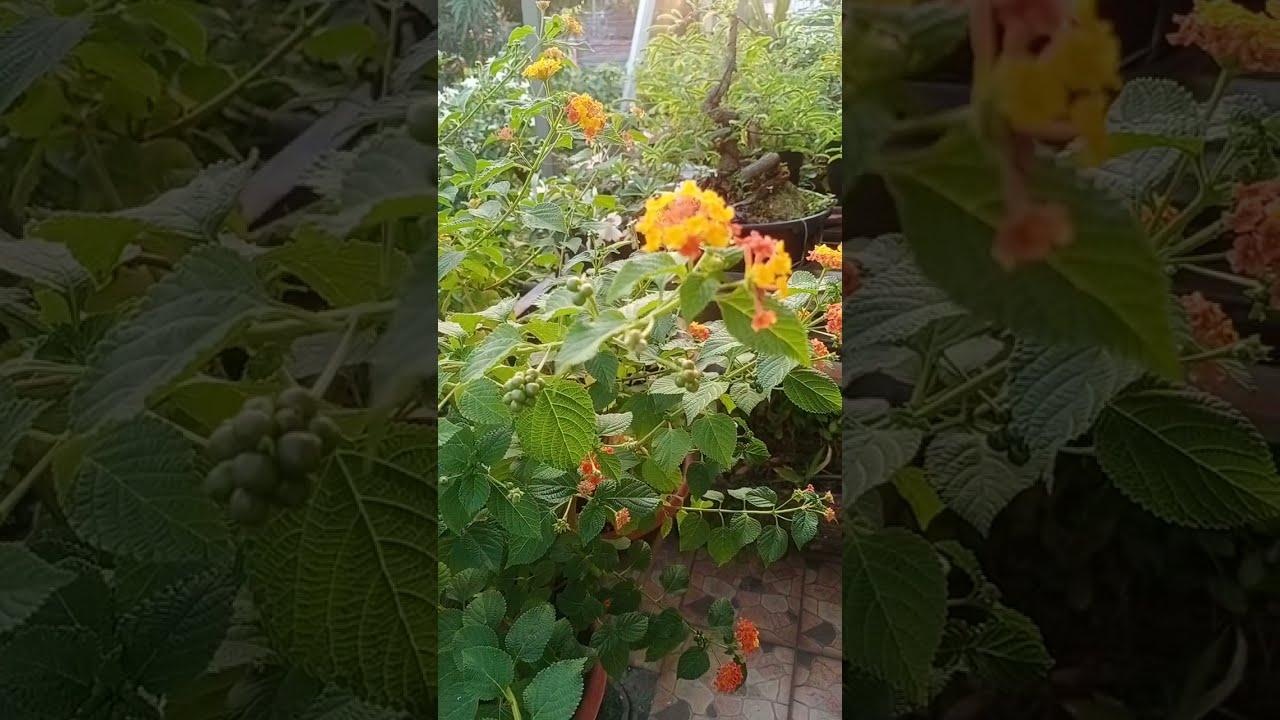 Download Lantana - tembelekan - yusup sulistyo