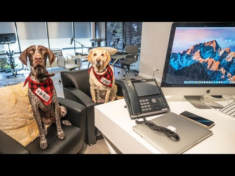 LONG day at WORK | German Shorthaired Pointer & Labrador Retriever
