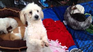 Dancing Poodle For Adoption!