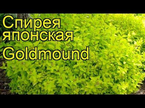 Спирея японская Голдмаунд. Краткий обзор, описание характеристик spiraea japonica Goldmound