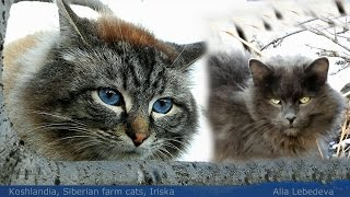 #2 Cat With Blue Eyes,Cat with green eyes, Ириска и Женихи, Iriska and Groomsman