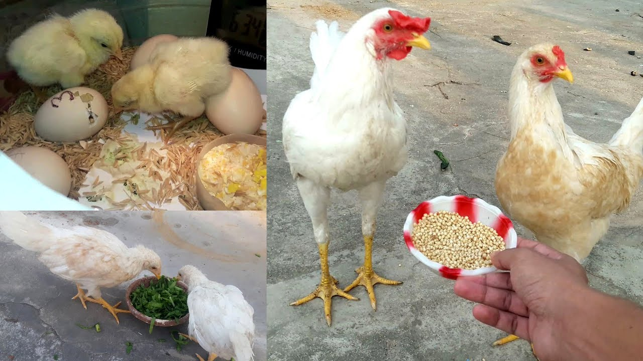 Download Chicken growth (Day-1 to 6 Months) || Chicken Facts