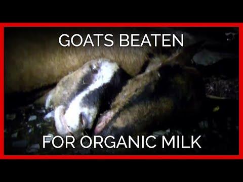 Goats Beaten for Organic Milk
