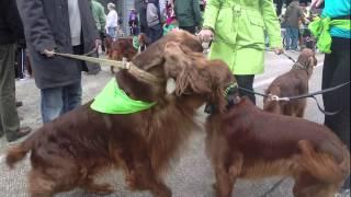 Irish Setters in the St. Patricks Parade, 2014