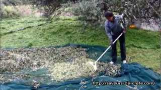 Collecting olives in Crete for olive oil production