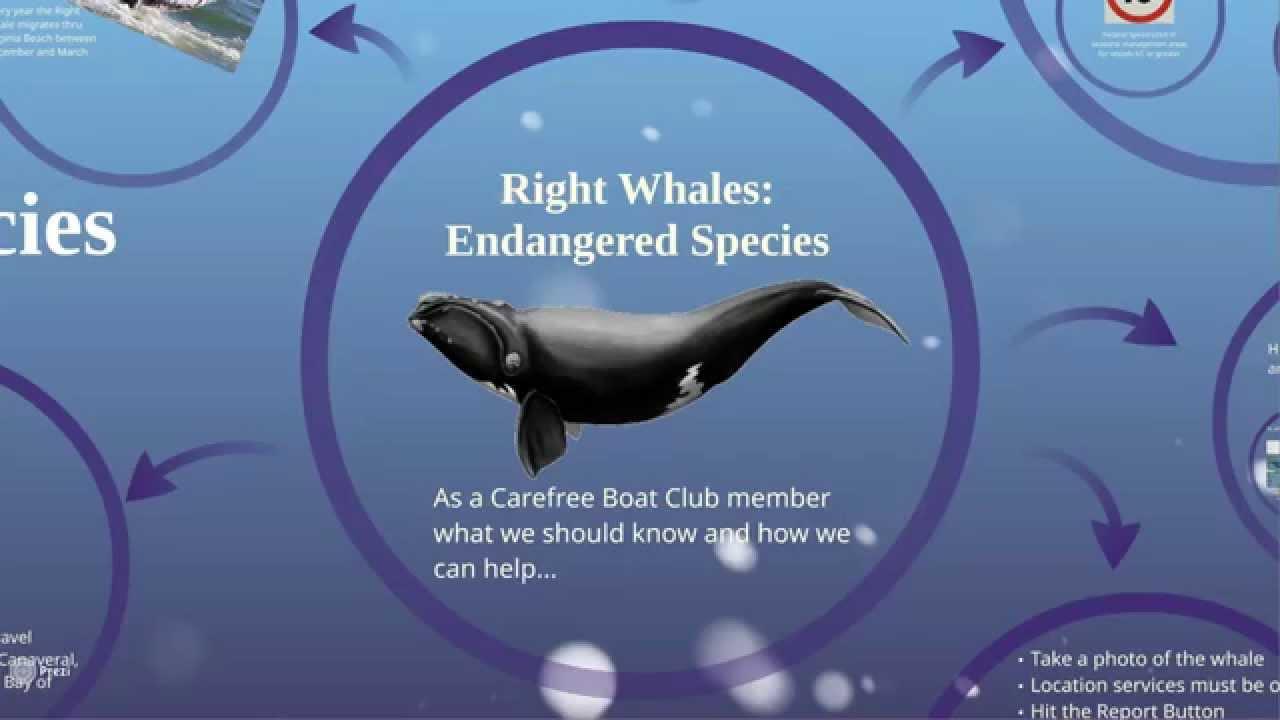 Right Whales In Virginia Beach