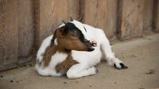 GOATS,  HOW TO RELAX? TOP 1 (SOFT MUSIC: RELAXING, MEDITATION, SLEEP, CALM, NATURE RELAXATION, SPA )