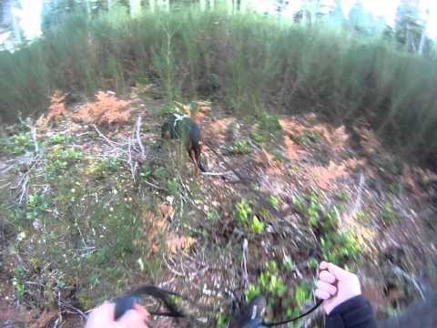 K-9 Recruit Cedar 24 hr old Trail 110411