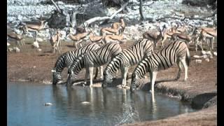 ПОЗНАВАТЕЛЬНОЕ ВИДЕО ДЛЯ ДЕТЕЙ (ЖИВОТНЫЕ) zebra