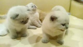 Шотландские котята колор-пойнт