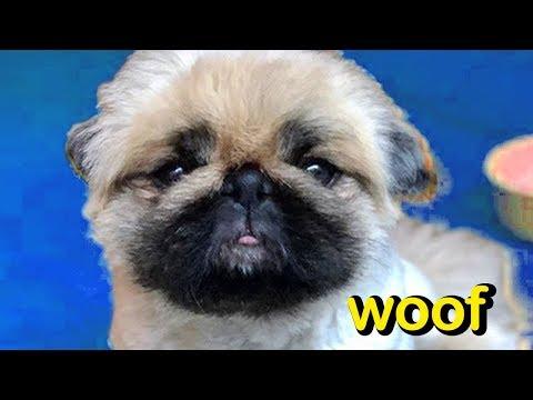 woof---my-name-is-bronx-the-pekinese!