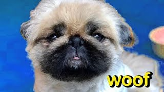 Woof - My Name Is Bronx the Pekinese!