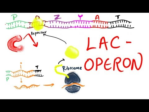 Lac operon: regulation by lactose and glucose thumbnail