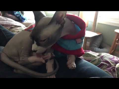 Bambino Sphynx Cat TOE CLEANING soo funny!