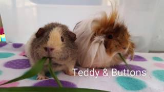 Teddy and Buttons the Guinea pigs