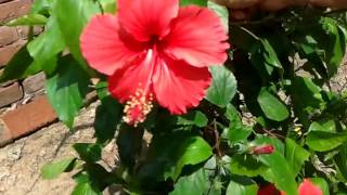 Hibiscus plant-how to make your plant more bushy and flowery | Easy care tips | गुढ़हल का फूल 😊
