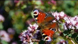 Oregano & Butterfly | Schmetterling auf Oregano - Full HD GH2
