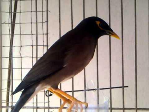 Burung Jalak Nias Berkicau Youtube