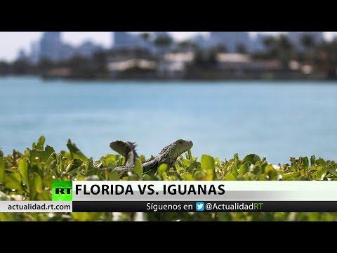 Las razones por las que Florida pide a sus habitantes que maten a las iguanas
