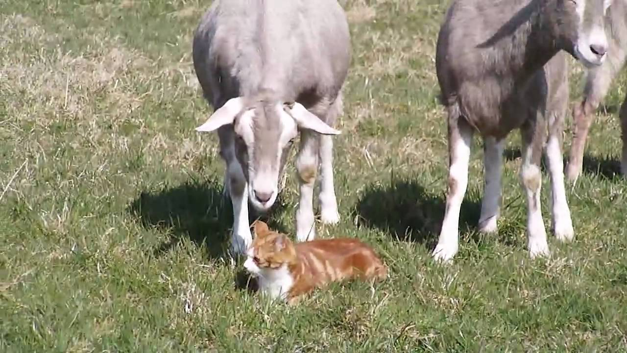 A Film Of Our Madcap Menagerie Goats Dogs Cats And A