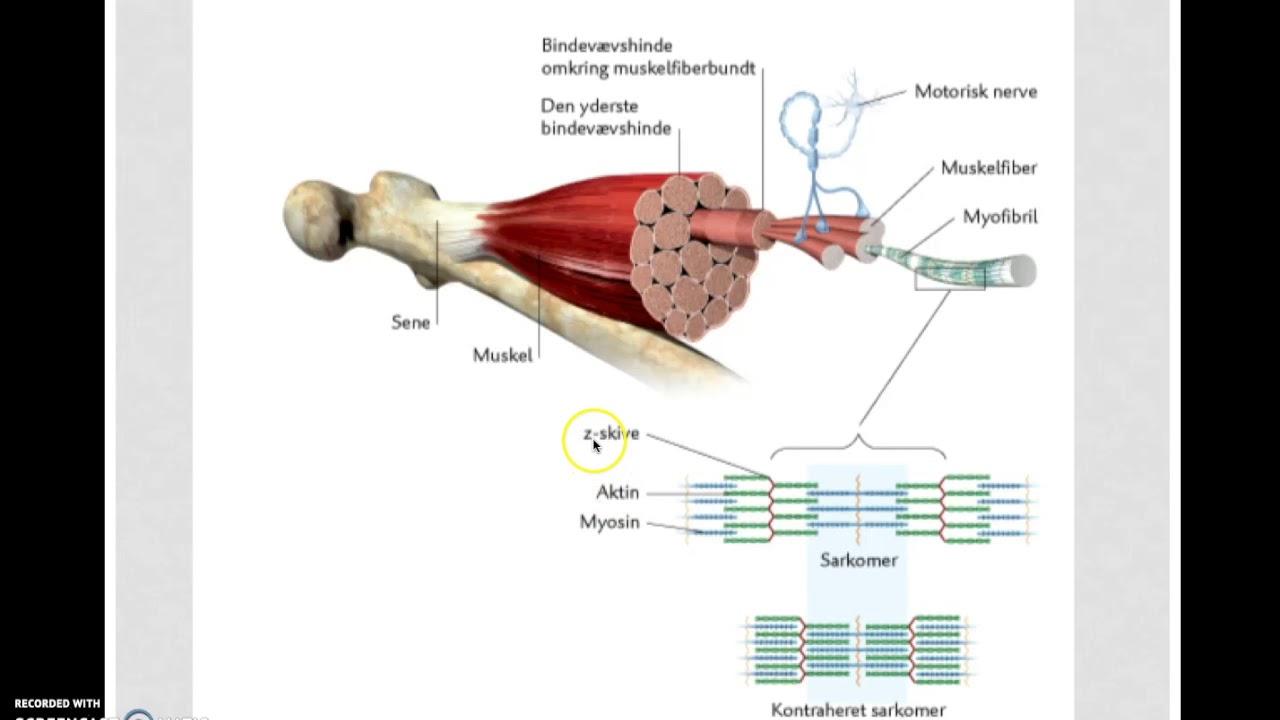 Großzügig Anatomie Eines Sarkomers Ideen - Menschliche Anatomie ...
