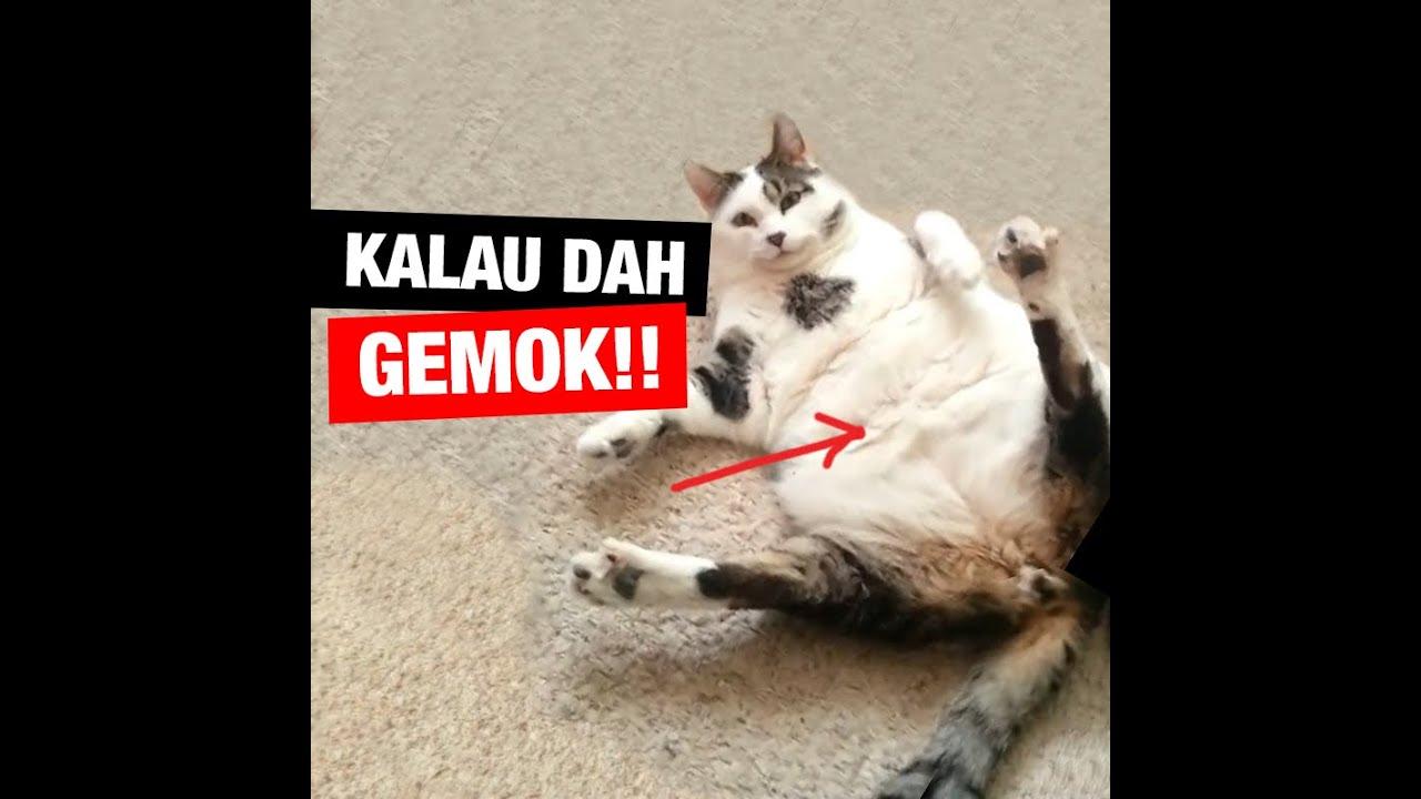 Kucing gemok!
