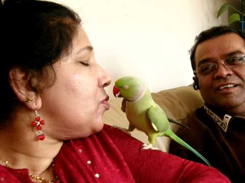 Our Baby....Talking Indian Ringneck Parrot