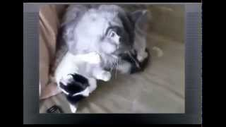 Домашняя кошка и мейн кун Кто сильнее