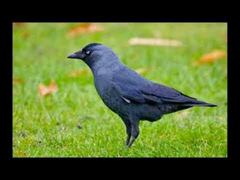 Uccelli - Taccola - Canto degli Uccelli