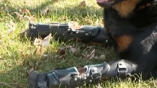 Rottweiler Uses 4 Prosthetic Limbs