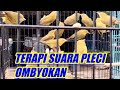 Terapi Pleci Suara Pleci Ombyokan Mempercepat Pleci Ngalas  Mp3 - Mp4 Download