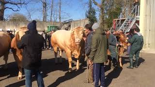 Landes: 16 Blondes d'Aquitaine en route pour le Salon de l'agriculture