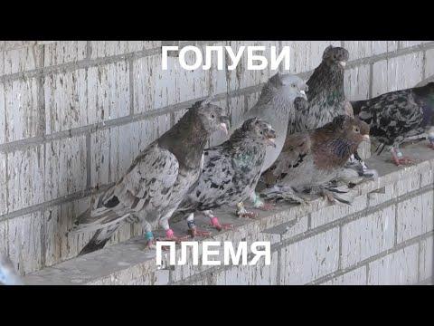 Голуби Сергея работа по селекции.Sergey Pigeons Selection Work.