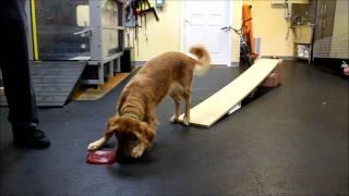 Gris Gris, The Agility Dog, Part 2, Dog Walk Rehab