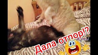 Кот золотая шиншилла Вязка.Заигрывает с кошечкой.